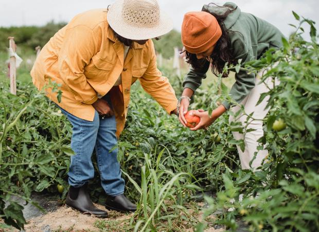 Bauern ernten Tomaten
