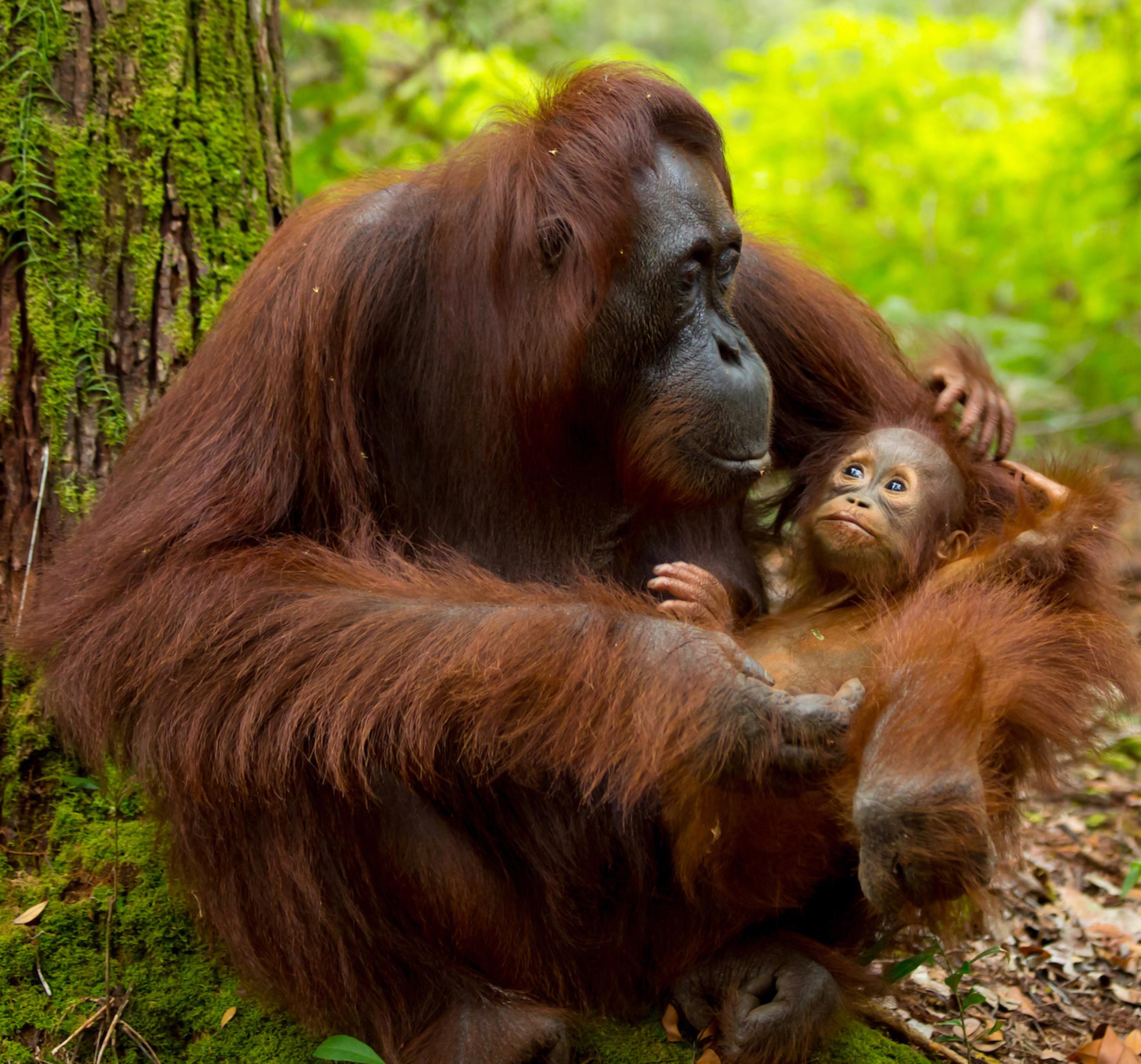 Cliquez sur les orangs-outans pour les sauver