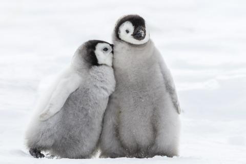 Rette Pinguinküken vor dem Verhungern!