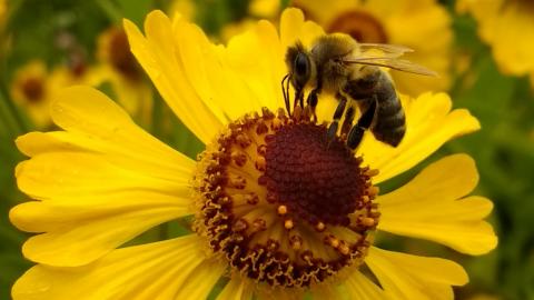 Pszczoła zapylająca kwiaty