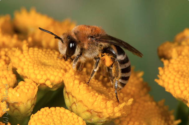 "We save bees"" – Protection of species throughout Europe"