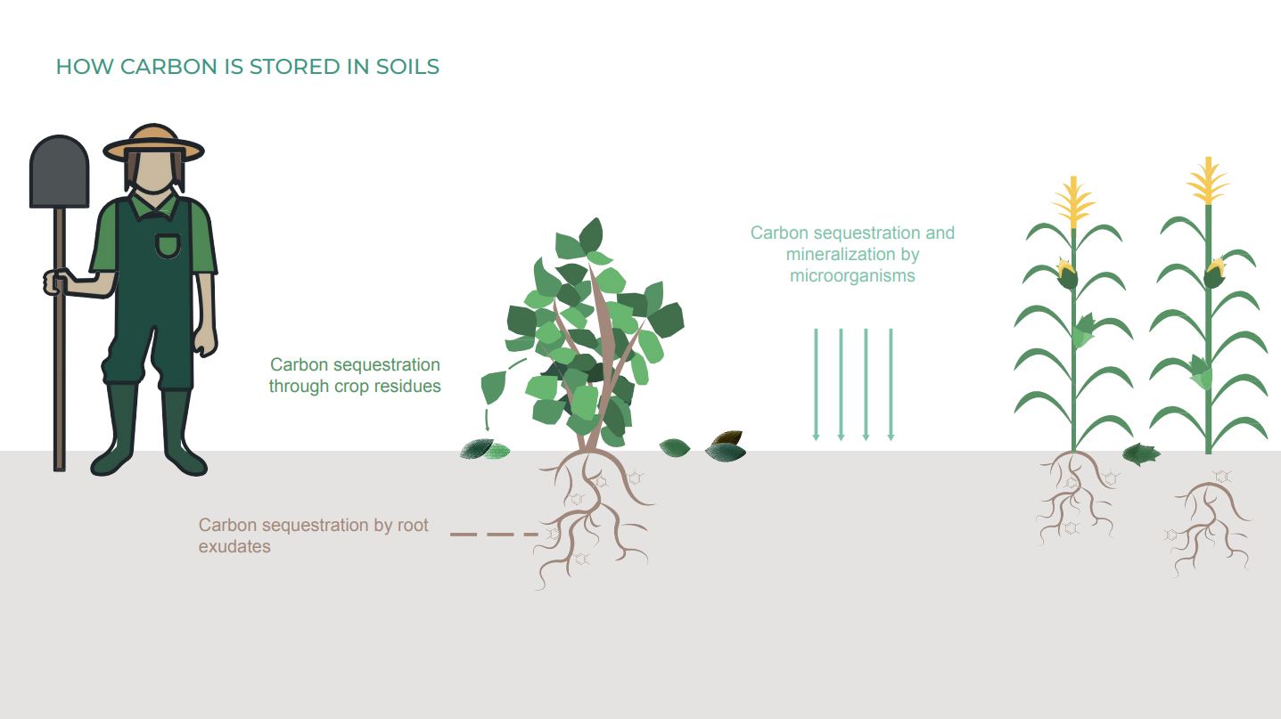 Illustration of how carbon is stored in soils, taken from presentation