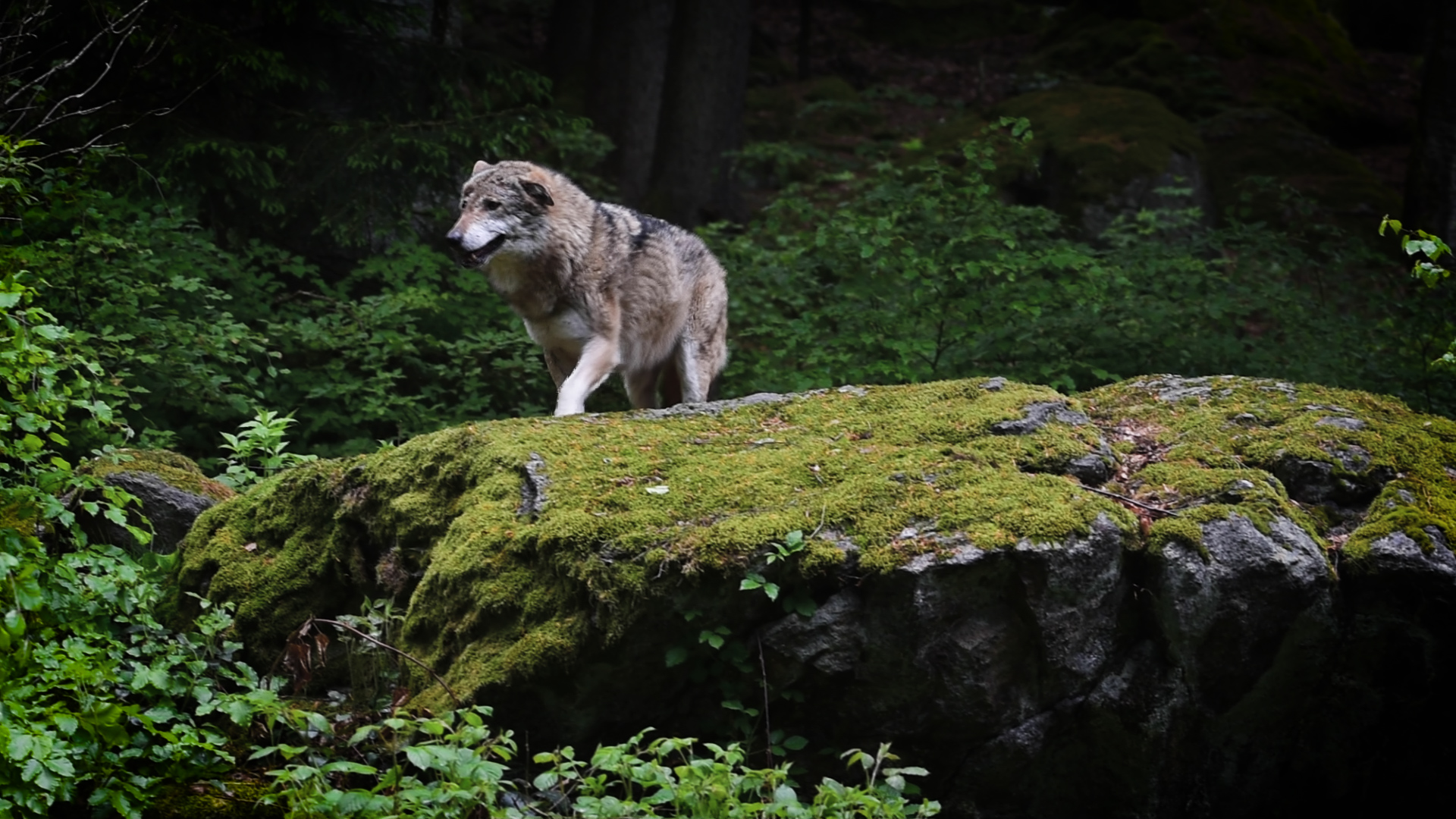 A wolf in the Kresna Gorge